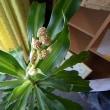 幸福の木の花(つぼみ)