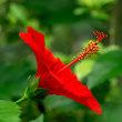2018 ハイビスカスの花も南国ムードを高め暑い夏を彩る