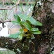 セッコク自然実生が開花しました