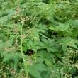五涼華に配合されているイヌホオズキ、蔓延るカナムグラも薬草でした