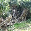石垣島の海びらきと鳩間島へ 48回目 鳩間島