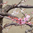 京都 ― No.4 鶯宿梅