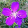 季節の花「野牡丹(のぼたん)」