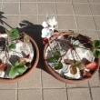 苺の鉢植えに新聞紙