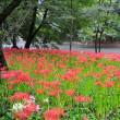 巾着田 曼珠沙華公園~埼玉県日高市②(回想)