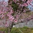 満開の桃畑・・・