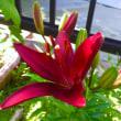 色の違うユリが咲きました