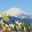 富士山と水仙