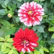 ◎宿根ミニダリア&種まき花のその後