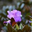返り咲きのシャクナゲ