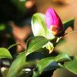 そろそろ、山茶花の季節 【ひで某】