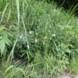 ツリガネニンジン(淡青紫の釣鐘形花)