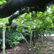 隣の果樹園。