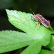 人面昆虫のよう! オオホシカメムシ(大星亀虫)