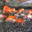 金魚( ˊ̱˂˃ˋ̱ )