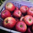 今月のりんご(2017年11月)収穫第一弾