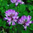レンゲの花の色はなんて儚い紫色なんでしょうね。 (Photo No.14245)