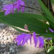 散歩道の朝花-④