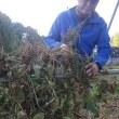 小豆の刈り取りと天日干し