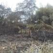 竹藪燃える