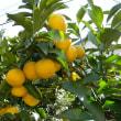 お庭のレモン、実りました!交換用弦も入手!