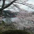 平成29年の青蓮寺湖畔の桜