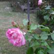 覆輪が素敵 バラのストロベリーアイス