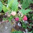 庭のラズベリー、二季目の収穫を開始しました。