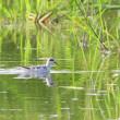少し夏羽も残っているようだ、アカエリヒレアシシギ。