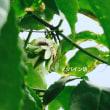 パッションフルーツで緑のカーテンを作る。2017年!開花!