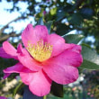 季節の花「山茶花 (さざんか)」