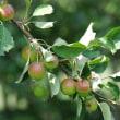 樹木ウォッチング冬から夏へ347ヒメリンゴ2