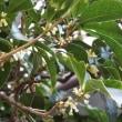 木犀の花が咲いた