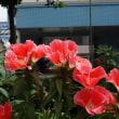 今日も赤い花