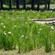 井頭公園の花菖蒲