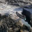 イワトビペンギン豪快な飛び込み