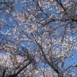 満開の夜桜を花見!!からの、桜散る!