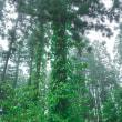 杉の木にまとわりつくツタ-中能登町山間部