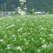 蕎麦の花が咲いています。
