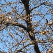 2018年3月17日の隅田川の桜