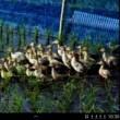 合鴨農法を助ける相反転方式小水力発電機