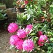 今年も「石楠花」が満開です。