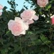 バラ 薔薇(そうび しょうび)
