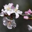 高尾さくら公園で咲く「オオヤマザクラ」(その1) !!