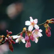 梅から桜へ