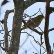 鴻巣山の野鳥
