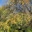 黄葉した樹々を眺めている、それが老境の幸せ