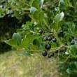 イヌツゲの黒い実