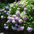正俊寺の紫陽花
