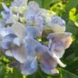 紫陽花「十二単衣」 4